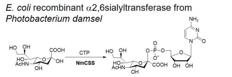 CMP-синтаза сиаловой кислоты; NmCSS CAS 9067-82-7 EC № 2.7.7.43
