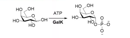 Galactokinase; BiGalK CAS 9030-53-9 EC 2.7.1.6