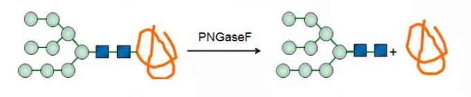 Гликопептидаза; PNGaseF CAS 83534-39-8 EC 3.5.1.52