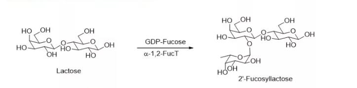 alpha1 ، 2-fucosyltransferase ؛ alpha1، 2FucT CAS 56093-23-3 EC 2.4.1.69