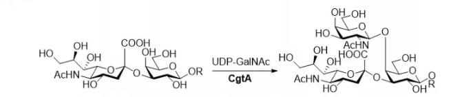 бета1, 4-N-ацетилгалактозаминилтрансфераза; CgtA CAS 67338-98-1 EC 2.4.1.92