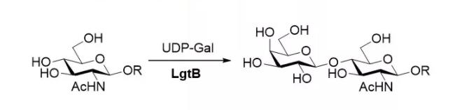 beta1, 4-galactosyltransferase; LgtB CAS 9054-94-8 EC 2.4.1.90