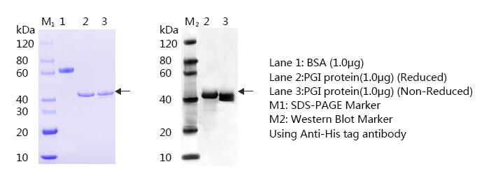 Pepsinogen I SDS-page i WB