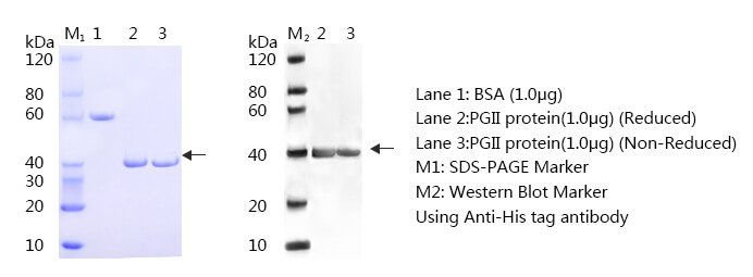 Pepsinogen II SDS-PAGE and WB